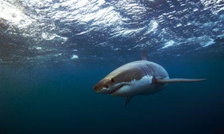 Great White Shark Encounters
